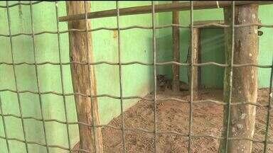 Filhote de onça parda capturado ganhou um novo lar no Vale do Ribeira - Animal é fêmea e está abrigado em um sítio de um instituto que abriga animais silvestres.