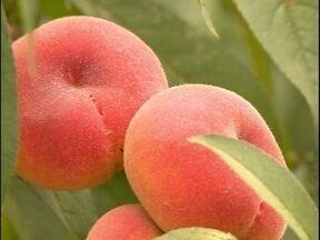 Pesquisa da Embrapa resulta em nova variedade de pêssego - Variedade chama a atenção pelo formato e sabor