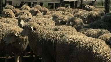 Lã dá lucro para criadores de ovelhas no RS e trabalho para tosquiadores - Retirada da lã é necessária para os animais enfrentarem o verão. Valor do produto está em alta, pois é cotado em dólar.