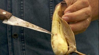 Banana pode ficar empedrada por falta de cálcio e boro - Para corrigir a deficiência é preciso fazer uma análise de solo. Se for de cálcio, deve-se aplicar o calcário. Se for boro, aplicar produtos à base de boro.