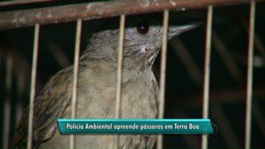 Pássaros são apreendidos em Terra Boa - É a segunda apreensão feita no município em uma semana. Os responsáveis vão responder por crime ambiental e pagar multa.