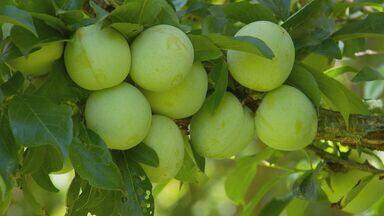 Estiagem prejudica colheita de frutas em Virgínia, MG - Estiagem prejudica colheita de frutas em Virgínia, MG