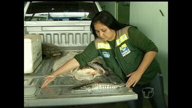 Operação apreende 30 kg de peixes proibidos e um quelônio em Santarém - Responsável pelos peixes foi notificado e poderá pagar multa.