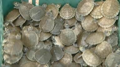 Tartarugas do Guaporé sofrem com as cheias dos rios - Cheia fora de época na Amazônia provocou o maior desastre ambiental em 15 anos de projeto de preservação das tartarugas. Para tentar reduzir os danos, os ribeirinhos montaram uma operação de salvamento.