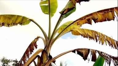 Fungo conhecido como mal de Panamá afeta sáude de bananeiras - Edcarlos Andrade mandou sua dúvida para a produção do Globo Rural. Ele cultiva banana -maçã, mas a árvore secou e parou de dar frutos.