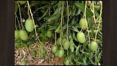 Produtores de manga investem na plantação e lucram com colheita, no ES - A colheita deste ano vai superar a perda que os produtores tiveram no último ano, por causa das chuvas.
