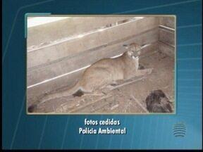 Em Flórida Paulista, presença de onças preocupa produtores rurais - Fazendeiros se preocupam com a existências de outros animais na região.