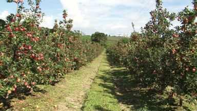 Colheita de maçã chama atenção de quem passa pela BR-153 - Plantação de macieiras próximas à rodovia chamam a atenção de motoristas e moradores da região.