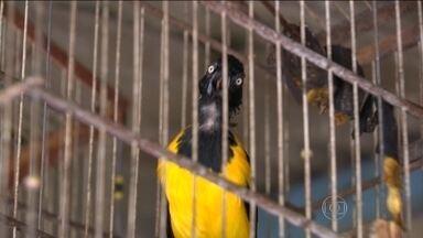 Ibama faz operação contra comércio ilegal de animais - No interior da Bahia, fiscais do Ibama mostram local onde os traficantes acumulam animais para serem comercializados.