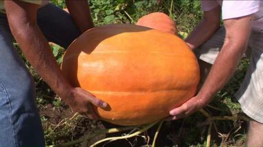 Produtores de Almirante Tamadaré colhem abóboras gigantes - O tamanho é tão grande que são necessários dois homens para erguer o legume.