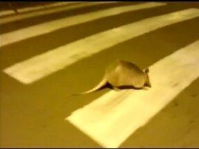 Telespectador filma animal andando em pleno centro de Erechim, RS - Tatu passeia pela avenida da cidade e não se intimida com imagens.