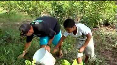 Cultivo do pequi aumenta renda das famílias e é muito usado na culinária em Palmeirais - Cultivo do pequi aumenta renda das famílias e é muito usado na culinária em Palmeirais