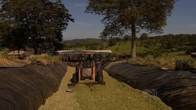 Produtores de leite investem no plantio de milho em Goiás - Os produtores pensam na silagem para o gado, mas estocar o alimento não é uma tarefa simples.