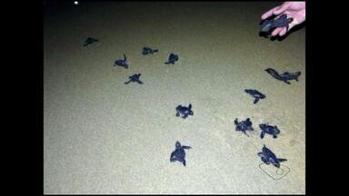 Cerca de 100 tartarugas deixam os ninhos em Marataízes, no Sul do ES - Filhotes estavam indo para o calçarão e foram salvas por moradores que as levaram para o mar.