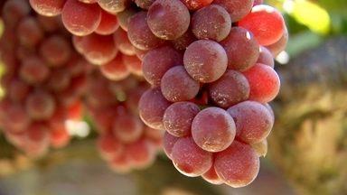 A Capital do Vinho - Todos os anos em São Roque são produzidos cerca de 16 milhões de litros de vinho por ano. A Cris foi ver o cultivo das uvas na vinícola e colocou as mãos na massa, ou melhor... Nas uvas!