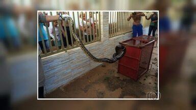 Sucuri de 2,5 metros é resgatada em copa de árvore em Quirinópolis - Segundo a corporação, o animal subiu no muro de uma casa e conseguiu chegar até a copa de uma árvore. Com medo, os moradores pediram ajuda.