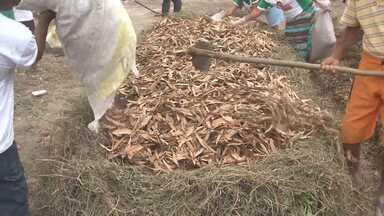Pequenos agricultores utilizam técnica de compostagem em Ibotirama - Frutas e verduras que iriam para o lixo iram adubo para outros plantios.