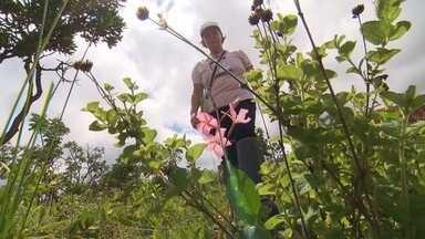 Cientistas visitam fazendas de Araxá para conhecer e pesquisar plantas medicinais - Terra de Minas deste sábado mostra como a tradição do uso de plantas medicinais, encontrada em quintais, se alia à ciência.