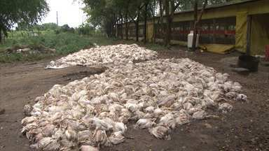 Queda de energia causa morte de cerca de 40 mil aves - O caso aconteceu no Recôncavo baiano.