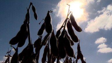 Lavouras de soja são prejudicadas pela falta de chuva na Região Sul do RS - Assista ao vídeo.