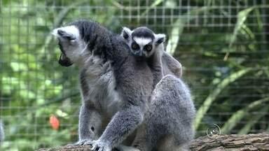 Filhote de lêmure é exposto em zoológico de Itatiba - O zoológico de Itatiba (SP) tem um novo morador: um filhote de lêmure que nasceu no parque e agora foi liberado para a visitação pública. Os lêmures são originários da ilha de Madagascar, na África.