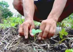 Nível do Rio Madeira começa baixar em Manicoré, no AM - Situação traz alívio aos produtores rurais da região que já começaram o plantio de melancia.