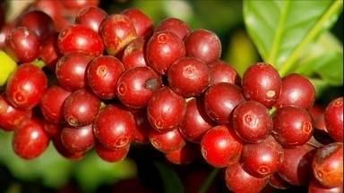 Colheita do café arábica começa no sul de Minas com um mês de atraso - Adiamento é reflexo da falta de chuva no ano passado. Seca atrasou a maturação dos grãos.
