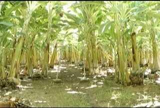 Pesquisadores do Norte de MG descobriram uma forma de retardar o amadurecimento da banana - Produção regional é consumida em todo o país e o desafio é atingir o mercado externo.