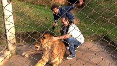 Felipe Andreoli visita santuário que abriga animais domésticos e silvestres - Tigre siberiano foi resgatado de um circo após perder a companheira e entrar em depressão