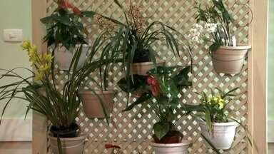 Morador de SP cultiva mini-orquídeas na varanda do apartamento - Até pouco tempo Sérgio Oyama não entendia nada sobre orquídeas. Agora, ele se tornou um especialista no cultivo da flor.