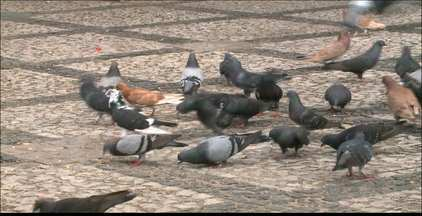 Pombos incomodam moradores no interior da Paraíba - Os moradores reclamam dos problemas causados pela sujeira das aves.