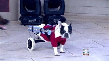 Conheça cachorros que usam cadeiras de rodas - Marley foi atropelado e fraturou a coluna