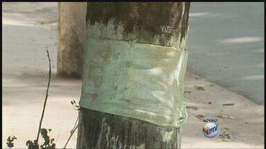 Árvore que foi envenenada já se recupera em Poços de Caldas (MG) - Árvore que foi envenenada já se recupera em Poços de Caldas (MG)