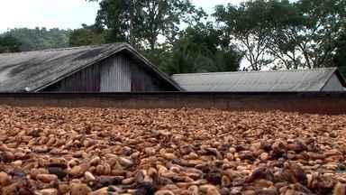 Produtores de cacau do sul da Bahia comemoram aumento de produção - Safra 2015/2015 terá quase 25 mil toneladas a mais que a anterior.