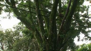 Moradores de Umuarama reclamam da demora para poda e corte de árvores - Em muitos endereços, as árvores ameaçam cair sobre telhados. Ou acabam rachando calçadas e muros.