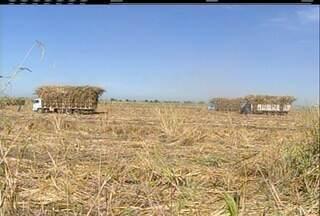Produção da cana-de-açúcar em Campos tem 700 vagas a menos em relação ao ano de 2014 - Crise afeta o setor.