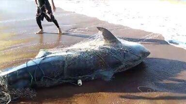 Especialista explica aparecimento de tubarões na baía do Espírito Santo - Três tubarões foram capturados em menos de um mês.