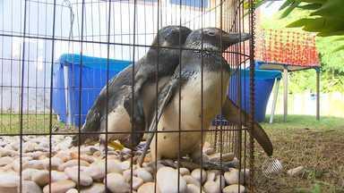 Pinguins encontrados em praias de Salvador recebem cuidados - Eles recebem tratamento no Instituto Mamíferos Aquáticos para voltarem para o mar.