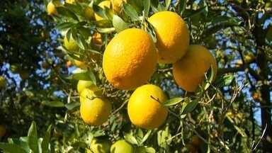 A safra da laranja em São Paulo - Confira a reportagem do programa