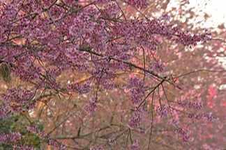 Aprenda como cultivar uma cerejeira - A árvore de origem japonesa floresce entre o fim de julho e começo de agosto. Um resort em Mogi das Cruzes tem um caminho com 200 cerejeiras.