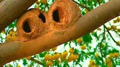 Casas de joão-de-barro tomam conta da Esplanada dos Ministérios - Na Esplanada dos Ministérios, um condomínio de joão-de-barro toma conta da paisagem. Esses passarinhos constroem o ninho próximo a locais com água porque precisam da lama.