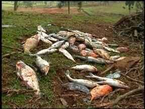Dezenas de peixes foram encontrados mortos em propriedade rural - Fato ocorreu no interior de Erechim, RS. A suspeita é que um produto tenha sido jogado na água.