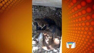 Lobo-guará é encontrado em Piracaia, SP - Animal foi achado no quintal de uma casa.