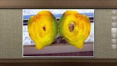 Mangostão é semelhante ao pêssego e pode ser consumido - Também chamado de bacopari, o fruto é originário do sul e sudeste da Ásia, mas como são muito ácido, podem ser aproveitados para sucos, doces e geleias.