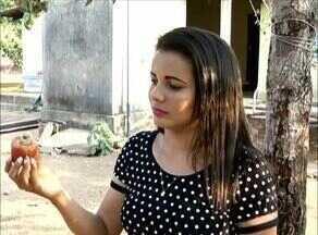 Confira as dicas do manejo correto para evitar pragas e doenças na plantação de caju - Confira as dicas do manejo correto para evitar pragas e doenças na plantação de caju