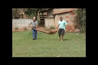 Mandioca gigante chama atenção de moradores de Santana do Paraíso - Raiz com mais de dois metros e cerca de 20 quilos ficou mais de quatro anos embaixo da terra. Produtor diz que foi utilizado adubo orgânico no local.