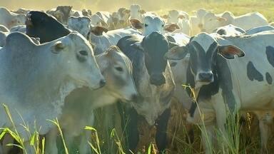 """Pecuaristas reclamam da proliferação da 'mosca da vinhaça' - Na fazenda de Vangélio Mondelli, em Reginópolis (SP), são criadas 400 cabeças de gado. Ele conta que está enfrentando problemas com a proliferação da """"mosca da vinhaça"""" - também conhecida como """"mosca do estábulo."""