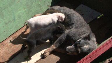 Cadelinha 'Morena' adota leitõezinhos - Veterinário explica o comportamento da cachorra que até amamenta os porquinhos