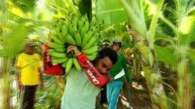 Agricultores colhem farta produção de banana em Barbalha - Agricultores contam com irrigação em período de seca.