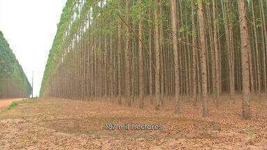 Mercado de biomassa de eucalipto em Mato Grosso busca por novos consumidores - Mercado de biomassa de eucalipto em Mato Grosso busca por novos consumidores